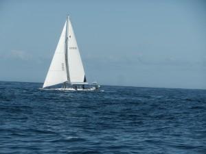 Blå Ellinor i liten Atlanten dyning