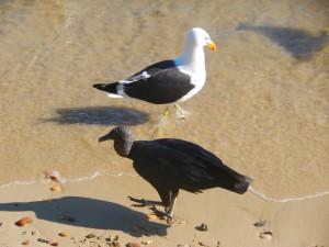 Gam och trut pa stranden. Forsta gangen vi ser trut sedan Canarias