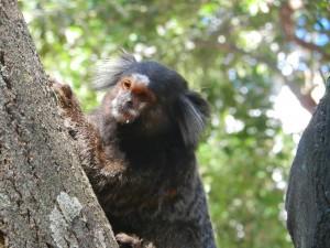 Dessa små apor är det gott om i Brasilien. Denna mitt i Rio.