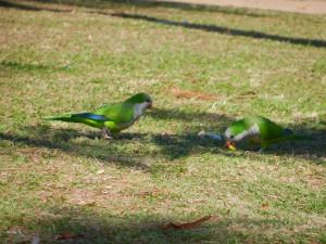 Papegojor som äter alldeles vid vår picnic filt