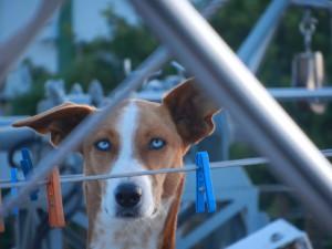 Vakthunden Balu med sina fina ögon