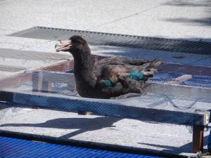 Sjöfågel under rehab