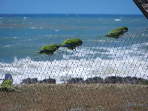 Papegojan Sture från Barcelona har släkt i Uruguay