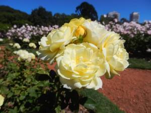 Ros i Rosenträdgården