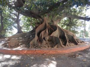 """Härliga rötter på ett träd i BA """"Östermalm"""""""