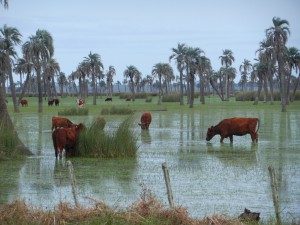 Korna har det bra med gras och vatten