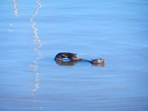 Hamnsälen i Puerto Sauce kliar sig på ryggen