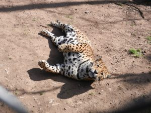 En Uruguayansk katt