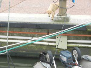 En gatuhund som ofta följde oss på långa morgonpromenader. Nu har den fått syn på katten