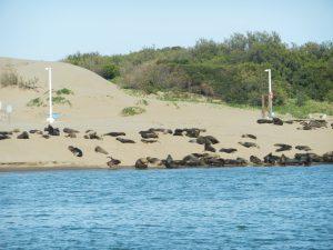 På väg upp i floden mot Nechochea. Hundra sjölejon ligger och solbadar.