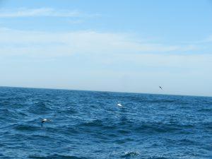 Två albatrossar som glider fram