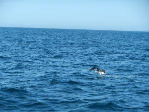 Albatross under startförsök, går oftast rätt tungt
