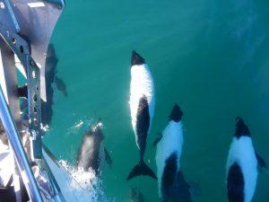 Attack av delfiner under minst en timme, här den fina vita Commersons Dolphin
