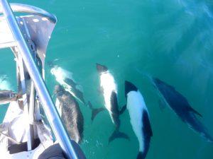 Mera delfiner taget från fören på båten