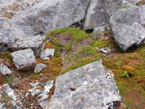 En buske på hög höjd som anpassar sig mot vinden genom att ta skydd bakom stenen