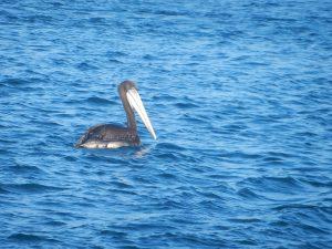 Pelikaner finns det ganska gott om. De är lite overkliga med sin jättenäbb och de har en enorm spännvidd mellan vingspetsarna.