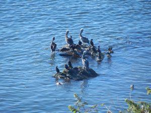 Pelikaner delar klipporna med andra fiskjagande sjöfåglar