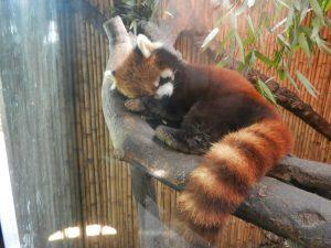 Fin Panda ligger och vilar