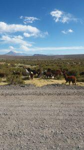 Istället för renar i Norrland, får man här i Anderna se upp för Lamor