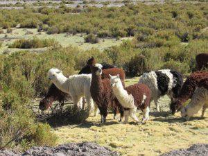 Kryllar av dessa Alpackor